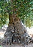 Możny stary drzewo oliwne obraz royalty free