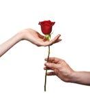 Mão do homem que dá uma rosa a uma mulher Fotografia de Stock