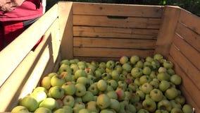 A mão do trabalhador derrama a colheita fresca da maçã na caixa de madeira no jardim 4K filme