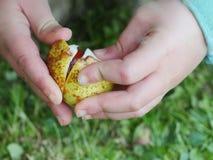 Mão dos conkers da criança Foto de Stock