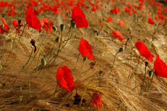 Mo(h)net. Corn and poppies like on a painting oh claude monet Royalty Free Stock Photography