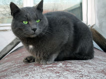 Możny kot Obraz Royalty Free