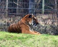 Możny Malayan tygrys w jego piórze obraz royalty free