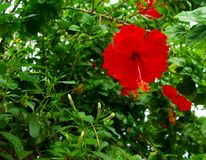 Moalboal Hibiscus, Panagsama Beach Royalty Free Stock Photo