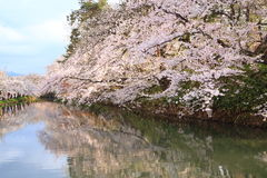 Moat and cherry blossoms Royalty Free Stock Image