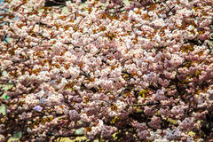 Moat and cherry blossoms of Kyoto Stock Photos