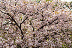 Moat and cherry blossoms of Kyoto Royalty Free Stock Image