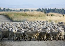 A mob of New Zealand hoggets walking to the yards. A mob of hoggets being mustered for the first draft of the summer in rural New Zealand royalty free stock photos