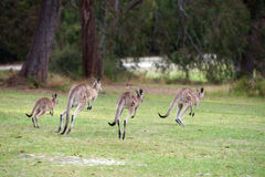 Mob of hopping kangaroos Stock Image