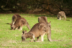 Mob of kangaroos Royalty Free Stock Photos