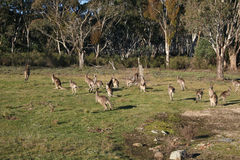 Mob of kangaroos. Out near Hill End in New South Wales, Australia stock photos