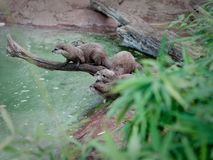 Family of oriental small clawed otters. A branch watching out predators royalty free stock images