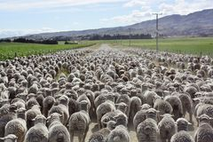 A mob of Merino hoggets. A mob of New Zealand hoggets, young sheep, walking to the yards stock photos