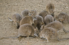 Mob of parma wallabies Royalty Free Stock Image