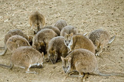 Mob of parma wallabies. This is a mob of parma wallabies feeding stock images