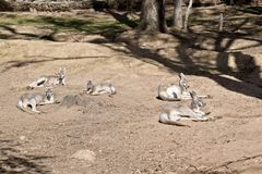 A mob of red kangaroo. The mob of red kangaroos are laying in the sun resting royalty free stock photos