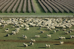 Mob of sheep Stock Photography