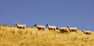 Canterbury sheep Royalty Free Stock Image