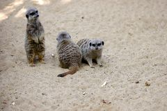 A mob of of sitting wild African Meerkats Suricata suricatta. Photography of nature and wildlife royalty free stock images
