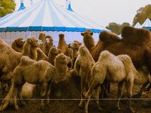 Mobilcircus. Mobil Circus arrived in Hamburg. Family of camels Royalty Free Stock Photos