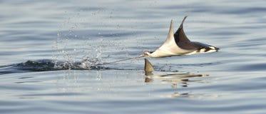 Mobula Рэй летания Стоковая Фотография RF