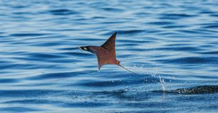 Mobula, den Strahl ist, springt vom Wasser heraus mexiko Meer von Cortez lizenzfreie stockfotografie