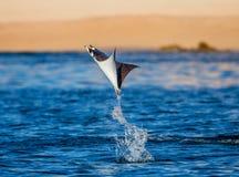 Mobula, den Strahl ist, springt vom Wasser heraus mexiko Meer von Cortez stockfoto
