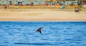 Mobula ray is jumping in the background of the beach of Cabo San Lucas. Mexico. Sea of Cortez. California Peninsula . An excellent illustration Royalty Free Stock Photos