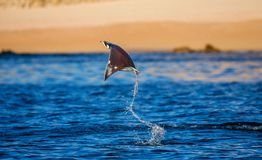 Mobula ray is jumping in the background of the beach of Cabo San Lucas. Mexico. Sea of Cortez. Royalty Free Stock Images
