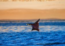 Mobula ray is jumping in the background of the beach of Cabo San Lucas. Mexico. Sea of Cortez. California Peninsula . An excellent illustration Stock Image