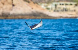 Mobula ray is jumping in the background of the beach of Cabo San Lucas. Mexico. Sea of Cortez. Royalty Free Stock Photo
