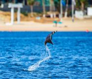Mobula ray is jumping in the background of the beach of Cabo San Lucas. Mexico. Sea of Cortez. California Peninsula . An excellent illustration Stock Photos