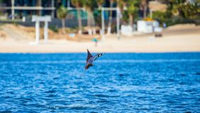 Mobula ray is jumping in the background of the beach of Cabo San Lucas. Mexico. Sea of Cortez. California Peninsula . An excellent illustration Stock Images