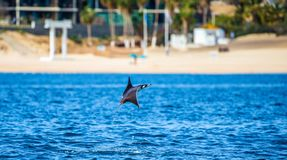 Mobula ray is jumping in the background of the beach of Cabo San Lucas. Mexico. Sea of Cortez. California Peninsula . An excellent illustration Royalty Free Stock Photo
