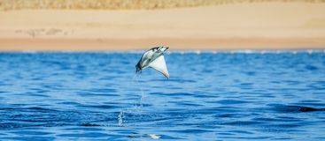 Mobula ray is jumping in the background of the beach of Cabo San Lucas. Mexico. Sea of Cortez. California Peninsula . An excellent illustration Stock Photo