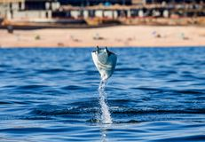 Mobula ray is jumping in the background of the beach of Cabo San Lucas. Mexico. Sea of Cortez. California Peninsula . An excellent illustration Stock Photography