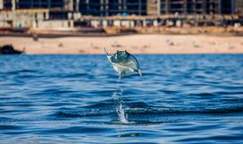 Mobula ray is jumping in the background of the beach of Cabo San Lucas. Mexico. Sea of Cortez. California Peninsula . An excellent illustration Royalty Free Stock Images