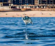 Mobula ray is jumping in the background of the beach of Cabo San Lucas. Mexico. Sea of Cortez. royalty free stock photos