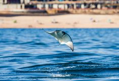 Mobula ray is jumping in the background of the beach of Cabo San Lucas. Mexico. Sea of Cortez. California Peninsula . An excellent illustration Royalty Free Stock Image