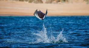 Mobula ray is jumping in the background of the beach of Cabo San Lucas. Mexico. Sea of Cortez. California Peninsula . An excellent illustration Royalty Free Stock Photography