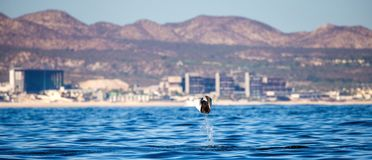 Mobula ray is jumping in the background of the city of Cabo San Lucas. Mexico. Sea of Cortez. California Peninsula . An excellent illustration Stock Photo