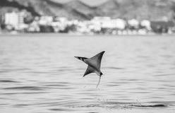 Mobula ray is jumping in the background of the city of Cabo San Lucas. Mexico. Sea of Cortez. Stock Image