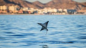 Mobula ray is jumping in the background of the city of Cabo San Lucas. Mexico. Sea of Cortez. Stock Photography