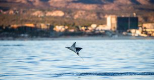 Mobula ray is jumping in the background of the city of Cabo San Lucas. Mexico. Sea of Cortez. Royalty Free Stock Image