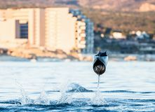 Mobula ray is jumping in the background of the city of Cabo San Lucas. Mexico. Sea of Cortez. Royalty Free Stock Photo