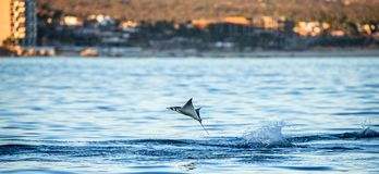 Mobula ray is jumping in the background of the city of Cabo San Lucas. Mexico. Sea of Cortez. California Peninsula . An excellent illustration stock photography