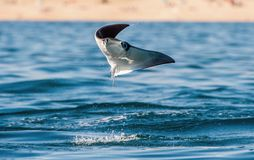 Mobula ray jumping out of the water. Front view. Mobula munkiana, known as the manta de monk, Munk`s devil ray, pygmy devil ray,. Smoothtail mobula, is a stock photo