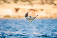 Mobula ray jumping out of the water. Front view. Mobula munkiana, known as the manta de monk, Munk`s devil ray, pygmy devil ray, smoothtail mobula, is a stock photos