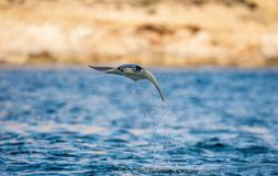 Mobula ray jumping out of the water. Front view. Mobula munkiana, known as the manta de monk, Munk`s devil ray, pygmy devil ray, smoothtail mobula, is a stock images