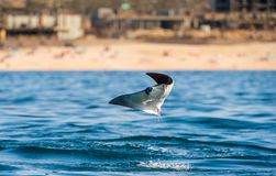 Mobula ray jumping out of the water. Front view. Mobula munkiana, known as the manta de monk, Munk`s devil ray, pygmy devil ray, smoothtail mobula, is a stock photography